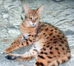 Savannah Cat Queens